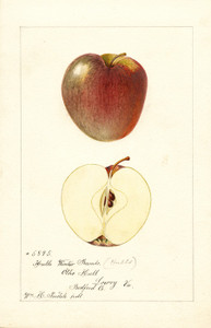 Art Prints of Hull's Winter Rambo Apples by William Henry Prestele