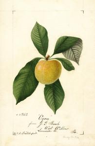 Art Prints of Ogon Plum by William Henry Prestele