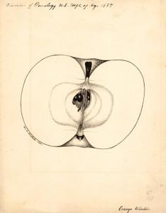 Art Prints of Orange Winter Apple by William Henry Prestele