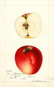 Art Prints of Pekin Apples by William Henry Prestele