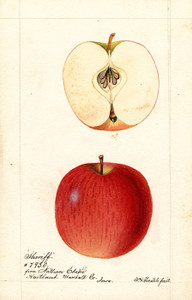 Art Prints of Sheriff Apples by William Henry Prestele
