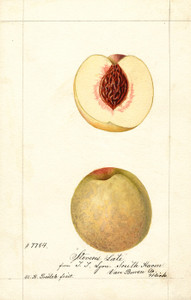 Art Prints of Steven's Late Peaches by William Henry Prestele