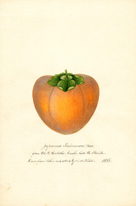 Art Prints of Tane Nashi Persimmon by William Henry Prestele
