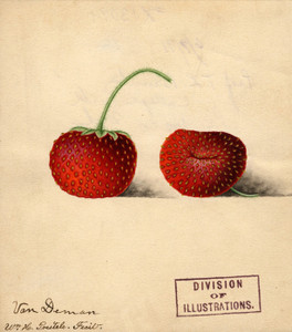 Art Prints of Van Deman Strawberries by William Henry Prestele