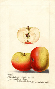 Art Prints of Tewksbury or Winter Blush Apples by William Henry Prestele