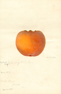 Art Prints of Zengi Persimmon II by William Henry Prestele