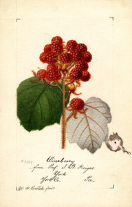 Art Prints of Wineberry by William Henry Prestele