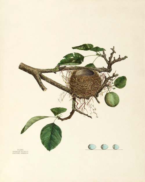 Art Prints of Chipping Sparrow Nest, Plate XXVI, American Bird Nests
