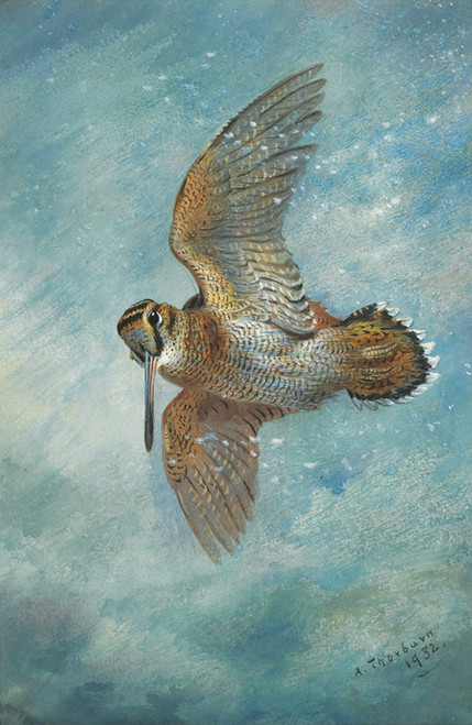 Art Prints of Caught in a Blizzard Woodcock by Archibald Thorburn