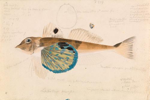 Art Prints of Butterfly Gurnard Lepidotrigla Vanessa by Arthur Bartholomew