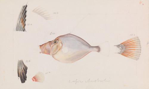 Art Prints of Silver Dory or Cyttus Australis by Arthur Bartholomew