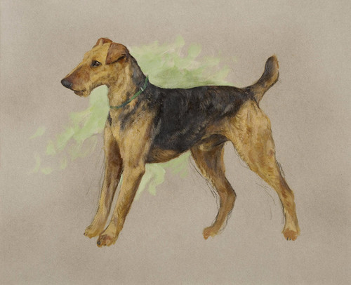 Art Prints of Airedale Terrier by Arthur Wardle