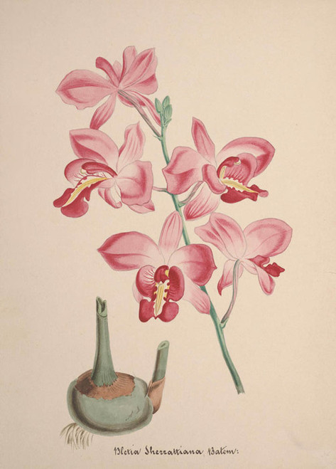 Art Prints of Bletia, No. 61, Orchid Collection