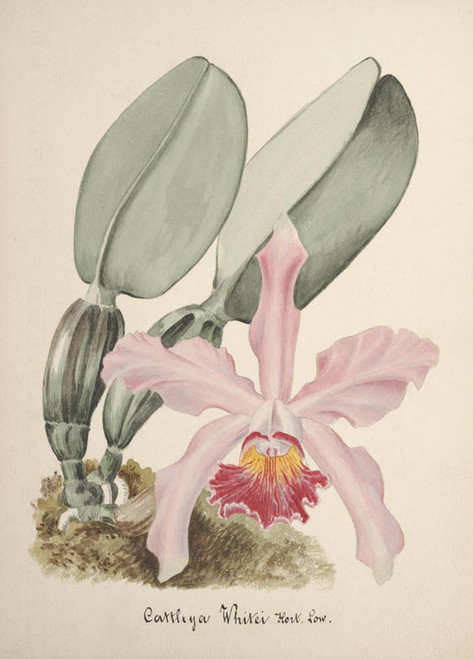 Art Prints of Cattleya, No. 67, Orchid Collection