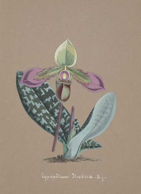 Art Prints of Cypripedium, No. 4, Orchid Collection