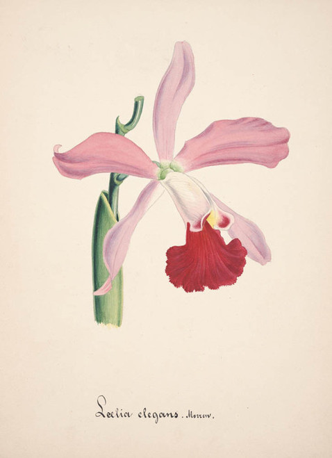 Art Prints of Laelia, No. 6, Orchid Collection