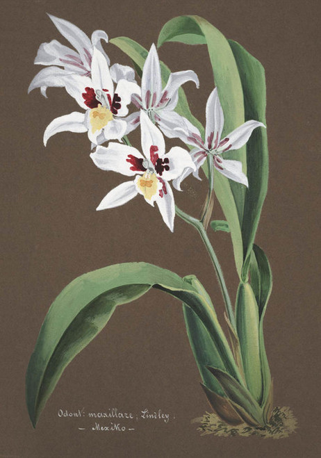 Art Prints of Odontoglossum, No. 33, Orchid Collection