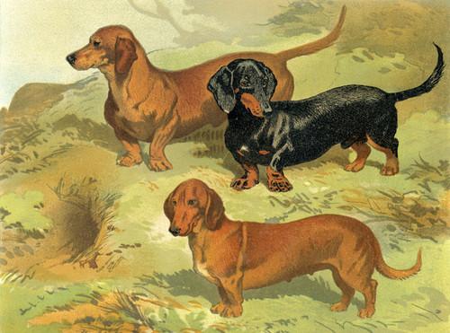 Art Prints of Dachshunds II by Vero Shaw