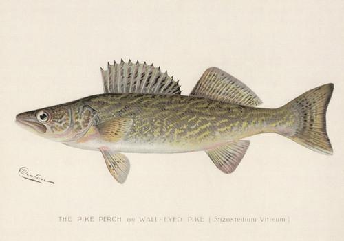 Art Prints of Pike Perch or Walleye by Sherman Foote Denton