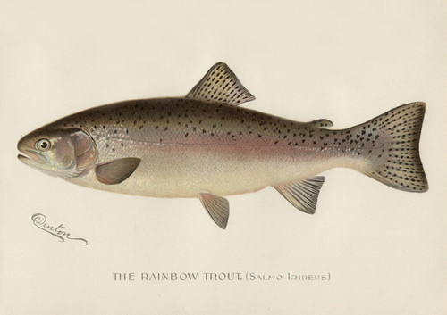 Art Prints of Rainbow Trout by Sherman Foote Denton