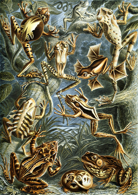 Art Prints of Batrachia, Plate 68 by Ernest Haeckel