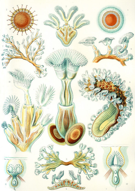 Art Prints of Bryozoa, Plate 23 by Ernest Haeckel