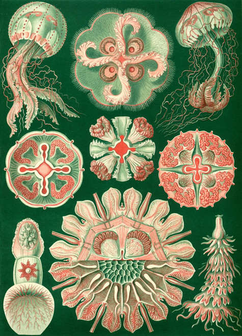 Art Prints of Discomedusae, Plate 98 by Ernest Haeckel