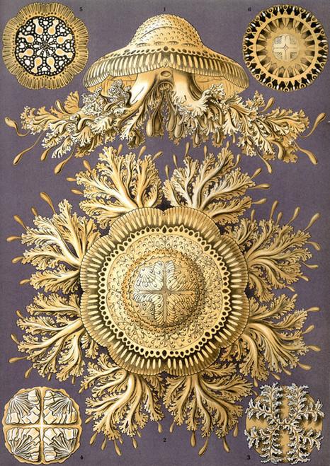 Art Prints of Discomedusae, Plate 28 by Ernest Haeckel