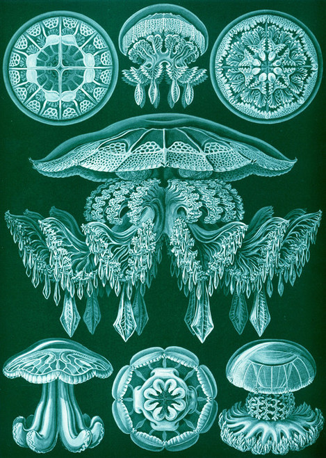 Art Prints of Discomedusae, Plate 88 by Ernest Haeckel