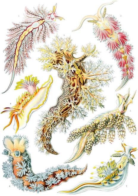 Art Prints of Nudibranchia, Plate 43 by Ernest Haeckel