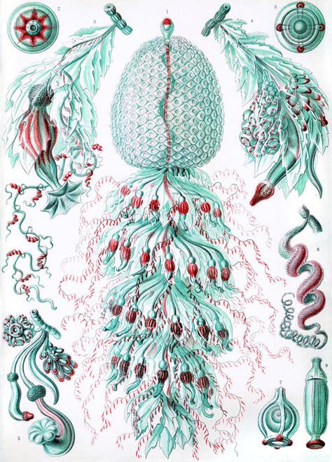 Art Prints of Siphonophorae, Plate 59 by Ernest Haeckel