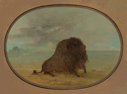 Art Prints of Dying Buffalo Bull by George Catlin