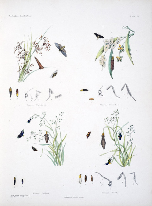 Art Prints of Plate 9 of Australian Lepidoptera and Transformations by Helena Scott