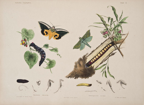Art Prints of Plate 11 of Australian Lepidoptera and Transformations by Helena Scott