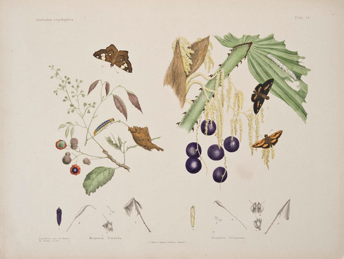 Art Prints of Plate 14 of Australian Lepidoptera and Transformations by Helena Scott