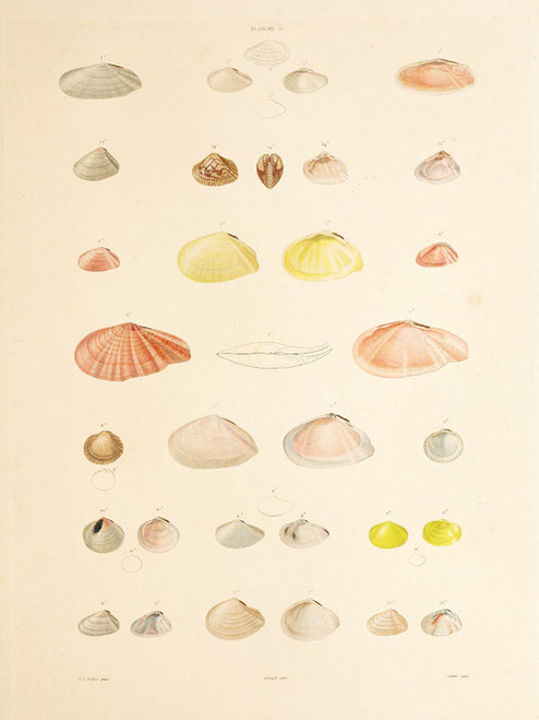 Art Prints of Shells, Plate 8 by Jean-Baptiste Lamarck