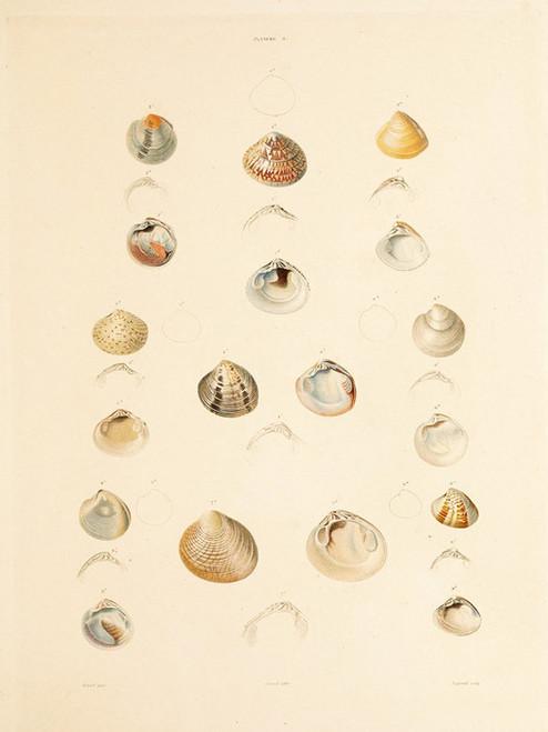Art Prints of Shells, Plate 11 by Jean-Baptiste Lamarck