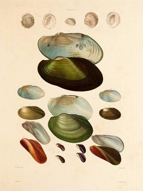 Art Prints of Shells, Plate 15 by Jean-Baptiste Lamarck