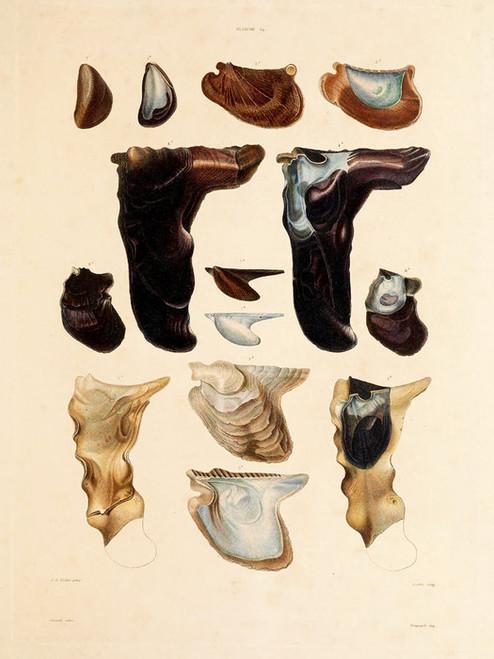 Art Prints of Shells, Plate 16 by Jean-Baptiste Lamarck