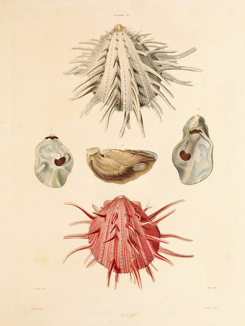Art Prints of Shells, Plate 22 by Jean-Baptiste Lamarck