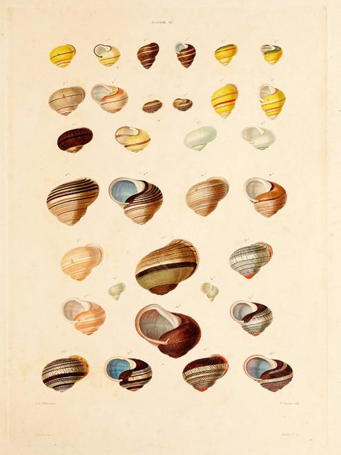Art Prints of Shells, Plate 40 by Jean-Baptiste Lamarck