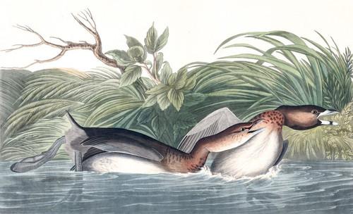 Art Prints of American Pied Billed by John James Audubon