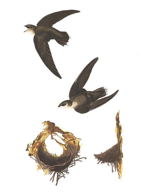 Art Prints of American Swift by John James Audubon
