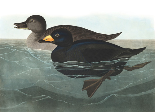 Art Prints of American Scoter Duck by John James Audubon