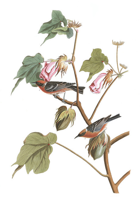 Art Prints of Bay Breasted Warbler by John James Audubon