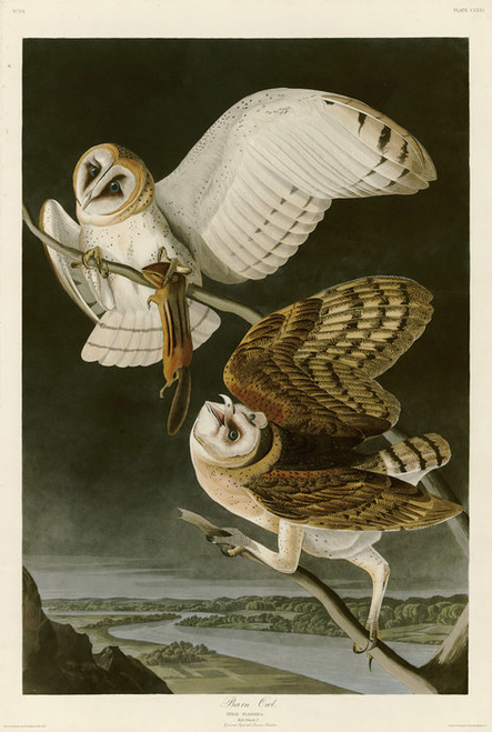 Art Prints of Barn Owl by John James Audubon