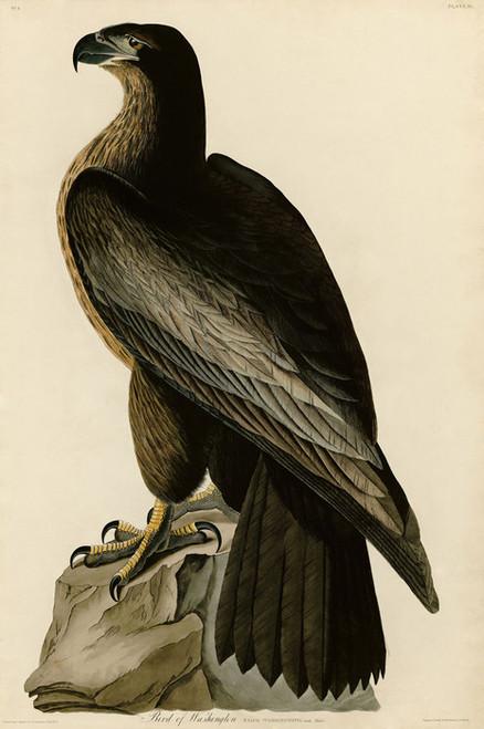 Art Prints of Bird of Washington by John James Audubon