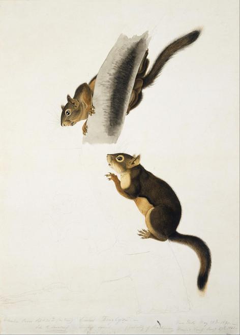 Art Prints of Douglass Squirrel by John James Audubon