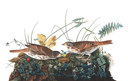 Art Prints of Fox Coloured Sparrow by John James Audubon