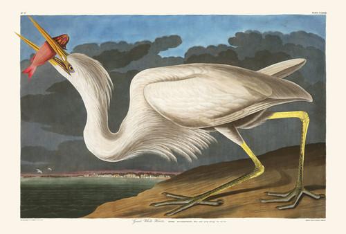 Art Prints of Great White Heron by John James Audubon